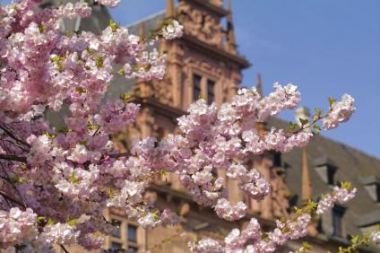 Cherry blossom in front of Johannisburg Castle